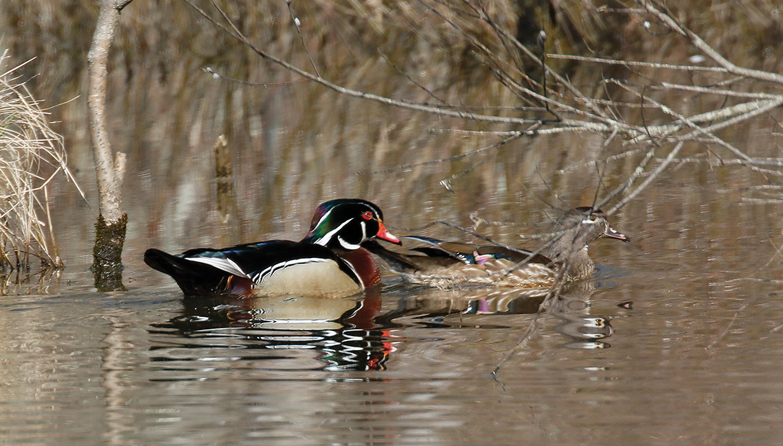 Adult wood duck pair