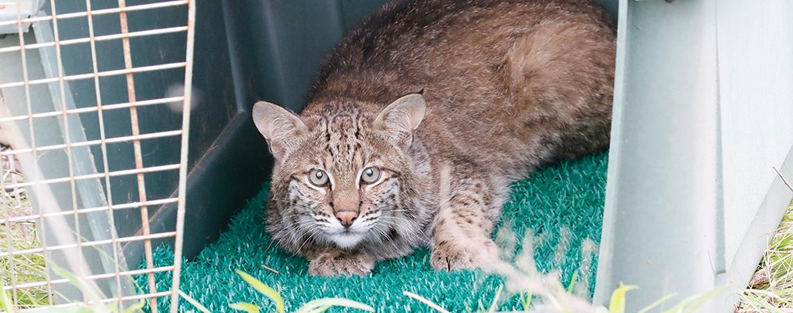 Bobcat in carrier