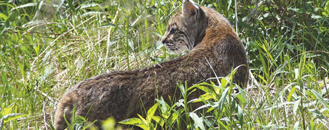 Bobcat in grass
