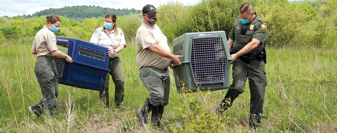 Lake Metroparks employees transporting bobcat